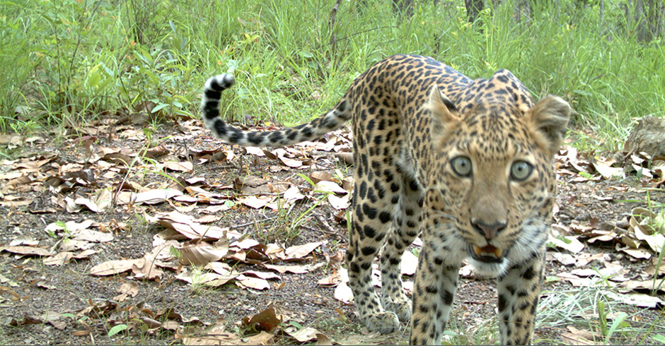 WWF cameras record anything that passes by, not just tigers. In this case, a leopard peering into the camera.