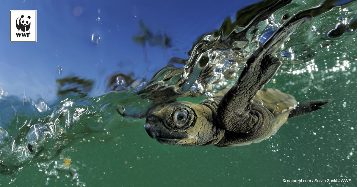 Help sea turtles in #WarmingWaters