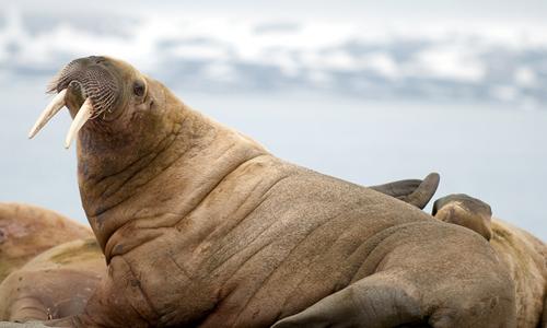 Atlantic walrus (Odobenus rosmarus rosmarus L)