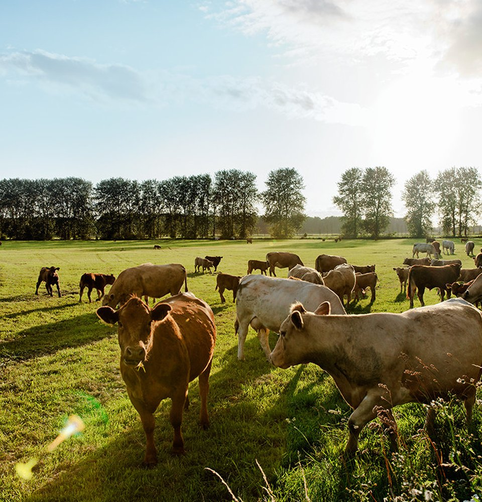 multiple cows standing on a farm grass field