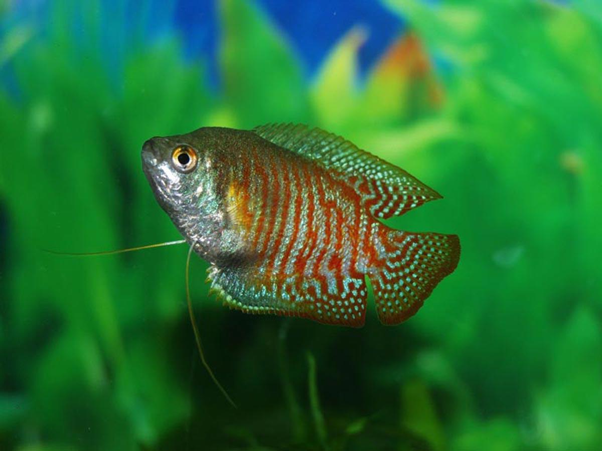 next gen sports super sealant tested dwarf gourami fish