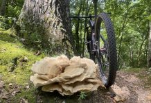 bikerumor pic of the day a large chicken of the woods mushroom grows by the side of a dirt trail mountain bike is leaned against a tree behind it.