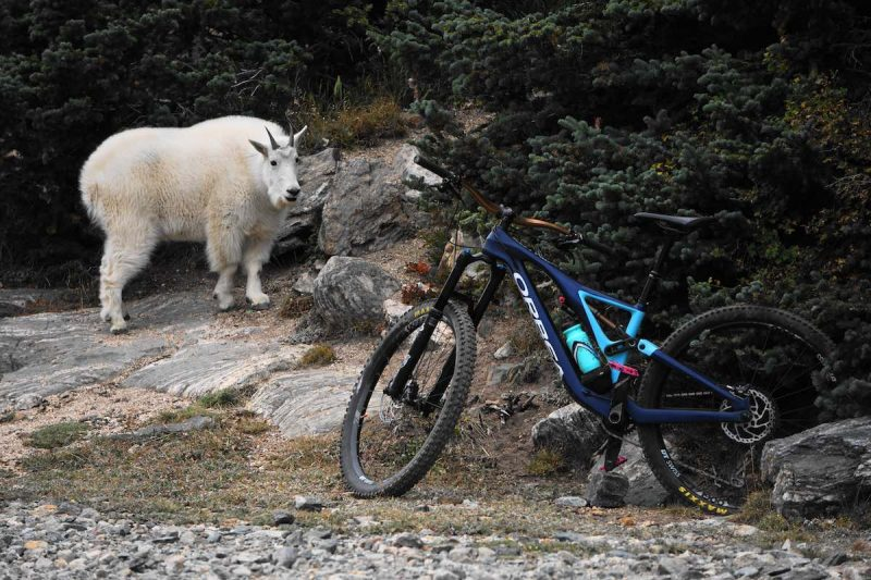 bikerumor pic of the day a mountain goat seems to be looking at a mountain bike that is leaning against a rock near a pine tree.