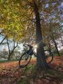 bikerumor pic of the day a bicycle leans agains the trunk of a tree, the sun is shining from behind and directly into the camera lens, the trees leaves are yellow and there are brown leaves on the ground surrounding the tree.