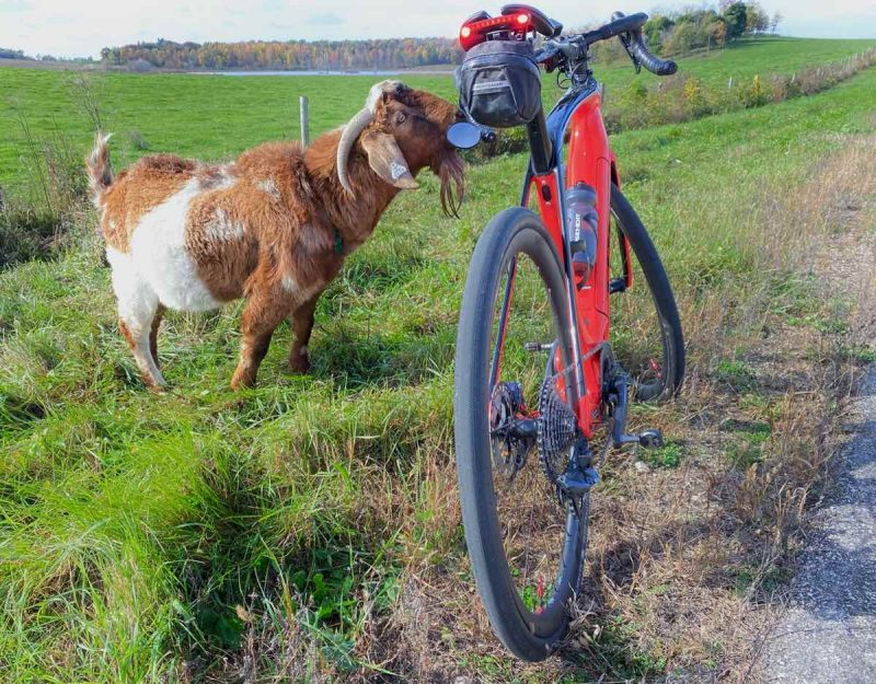 bikerumor pic of the day a goat is inspecting a red gravel bicycle along a road that meets a field full of green grass.