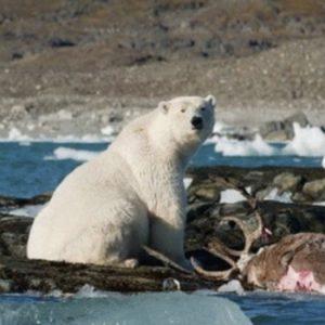 Polar Bears Prey on Reindeer