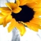 Sunflower_3