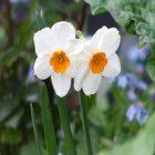 Narcis-1