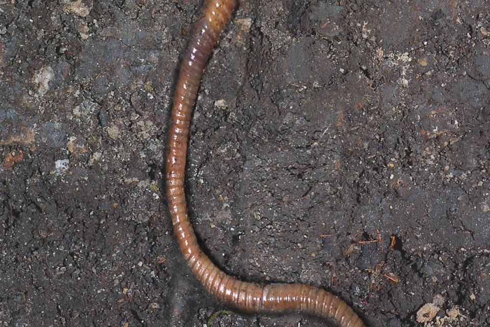 Where do worms go when the ground is very dry?