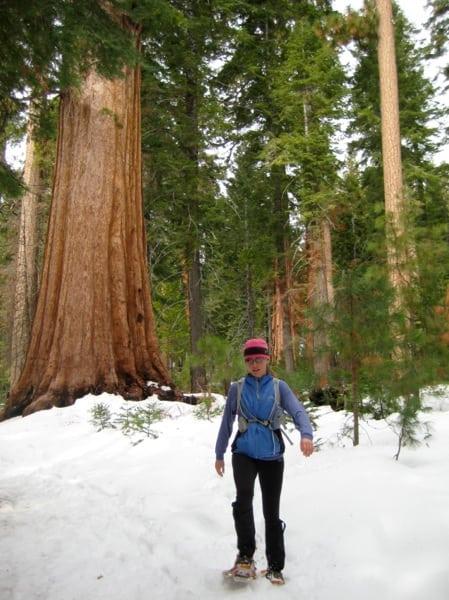 Mariposa Grove Giant Sequoias winter