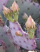 Purple-Tinged Prickly Pear