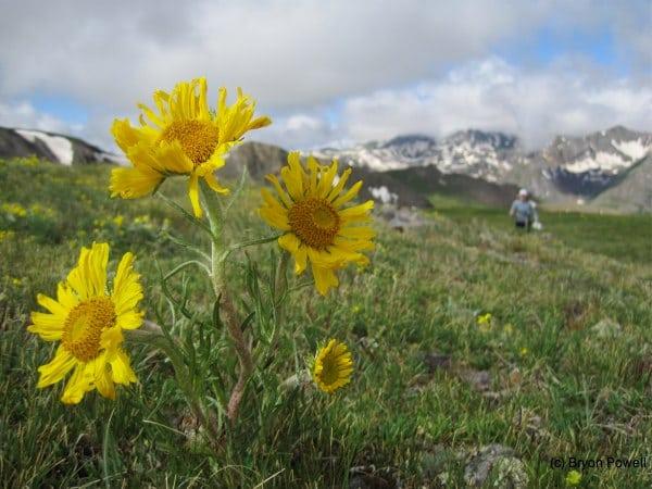Sunflower in Rocky Gulch San Juan Mountains