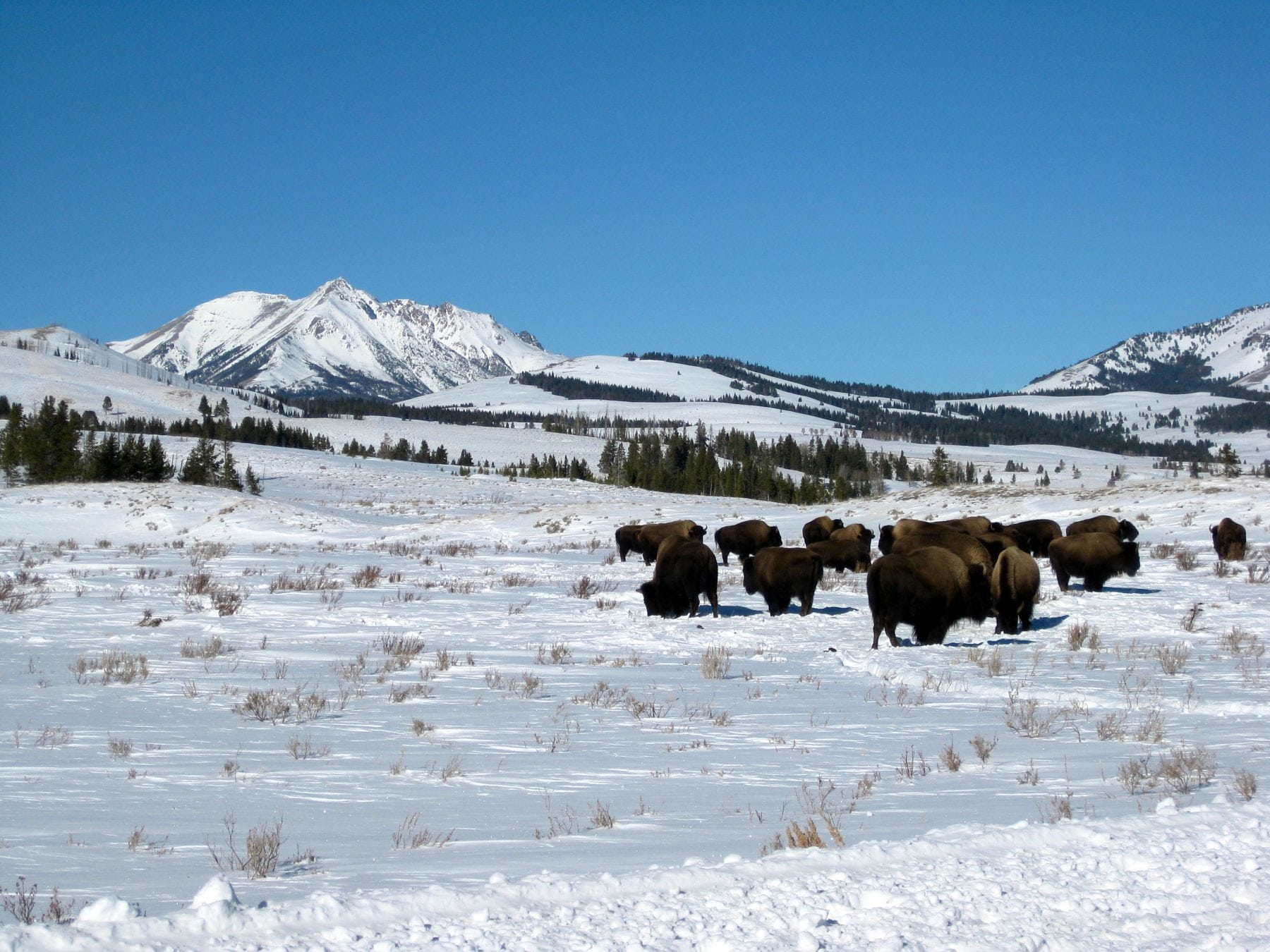 Bison and Electric Peak in a Yellowstone winter.