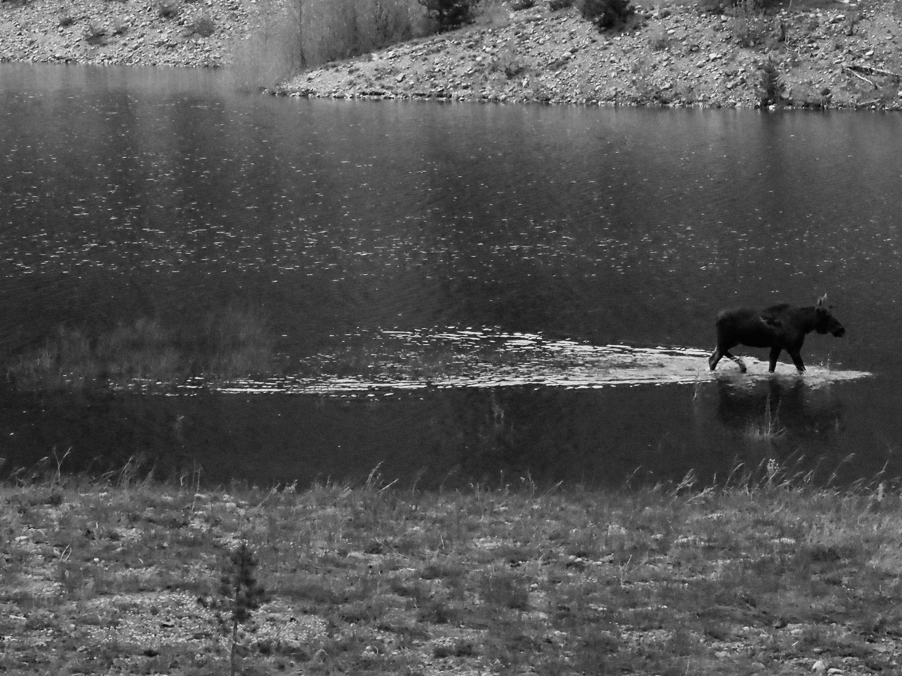 moose on lake