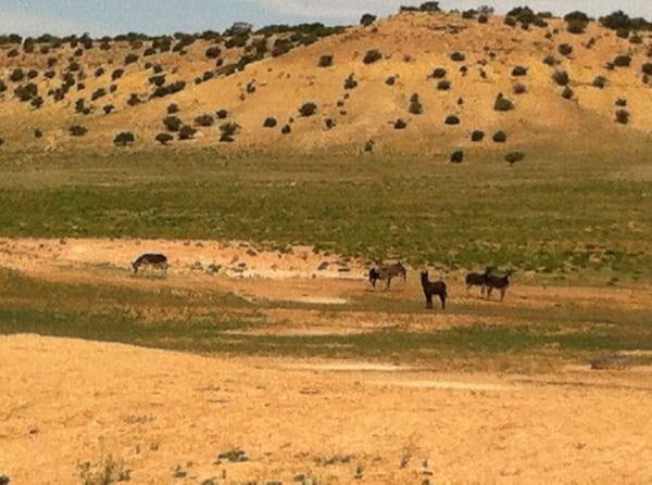 Wild burros in Utah