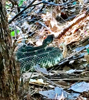 Ryan Sandes rattlesnake