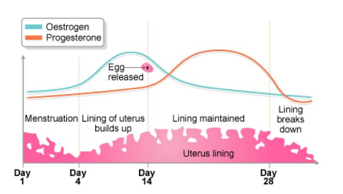 Visual representation of the menstrual cycle