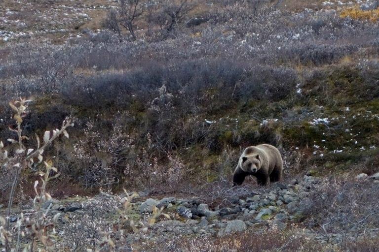 Denali NP - Brown Bear - Bryon Powell