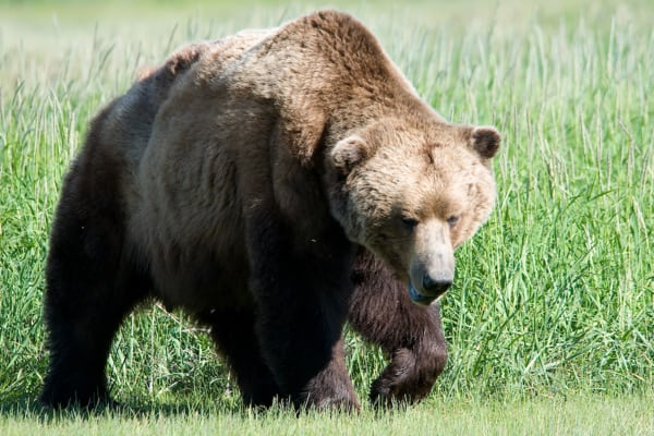 Brown Bear with Back Hump (Marshmallow, Wikimedia Commons)