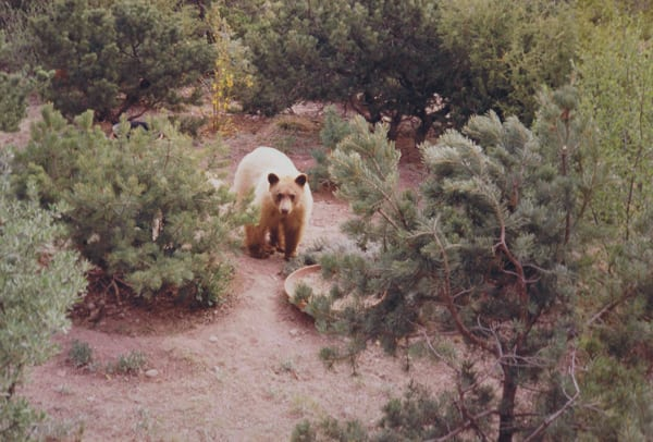 Blond Juvenile American Black Bear in New Mexico (Alton R. Packard, Wikimedia Commons)