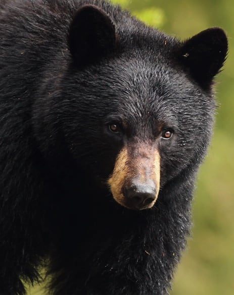 Black Bear with Roman nose (Pat Gaines, Creative Commons license)