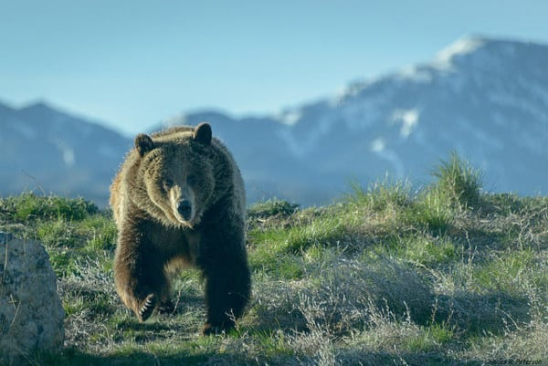 Grizzly Bear Charging (Charles Peterson, Flickr Creative Commons)