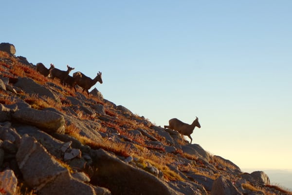 bighorn-sheep-on-mount-shavano-meghan-hicks-nolans-14