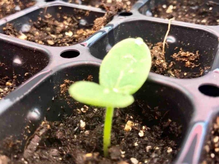 Aliza Lapierre's seedling