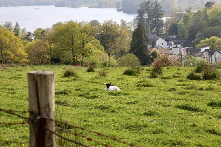 Baby sheep near Ambleside, Lake District