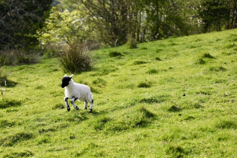 Baby sheep in the Lake District