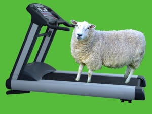Ewe on a treadmill