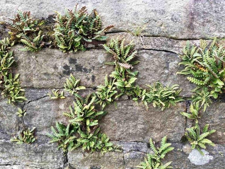 photo 5 - ferns on a Winterburn wall