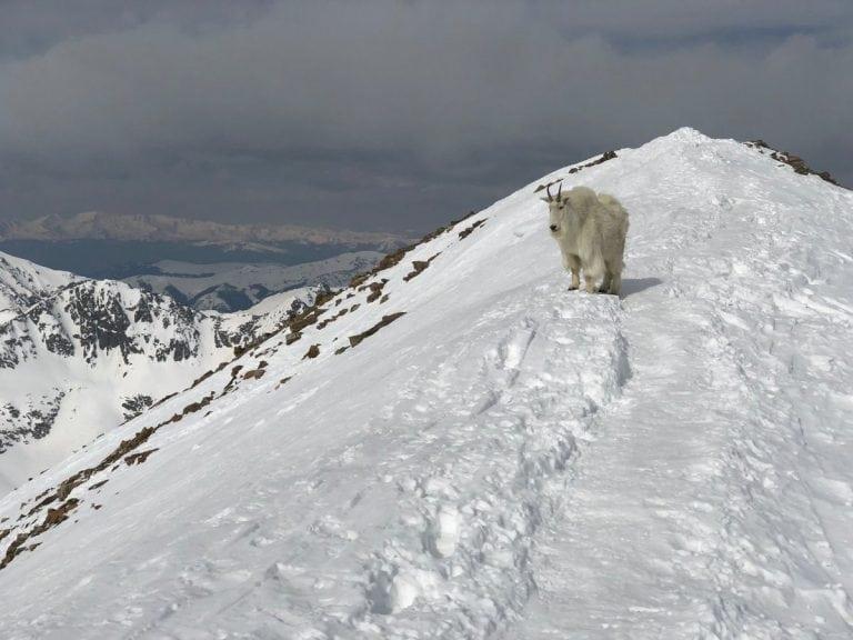 2018 Quandary Peak mountain goat