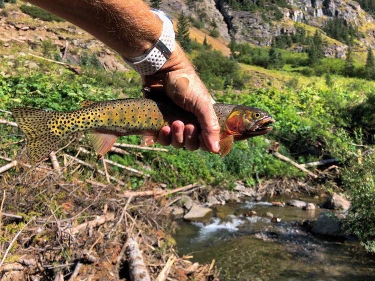 Colorado River Cutthroat Trout - Cunningham Gulch