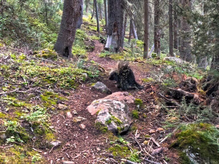 Mushroom Trail porcupine