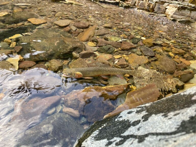 Rio Grande Cutthroat Trout - Conservation Population