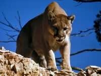A Trail Runner's Guide to Mountain-Lion Encounters