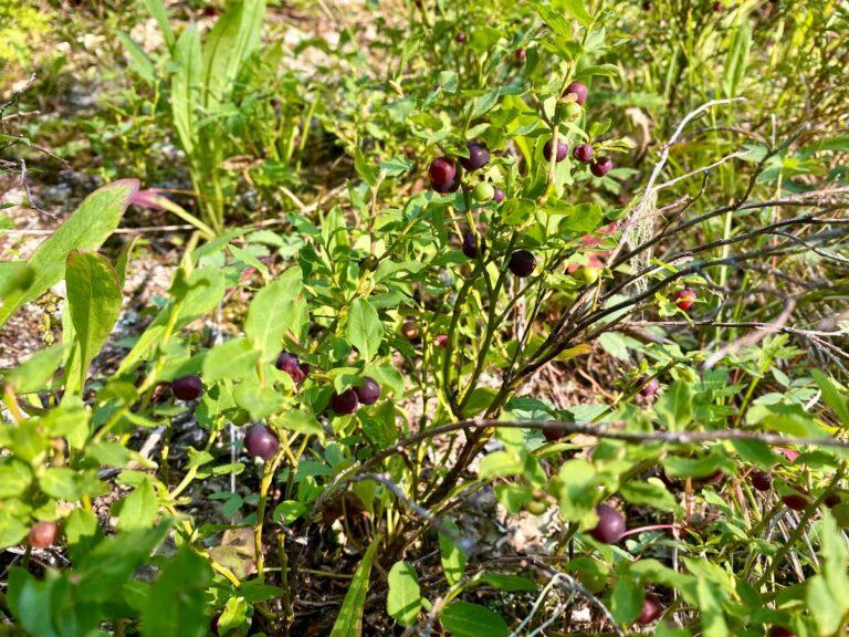 San Juan blueberries