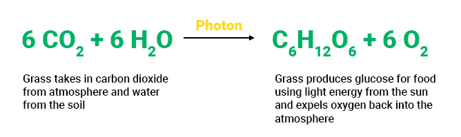 Grass photosynthesis process