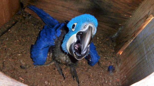 Filhote de arara azul aos 60 dias de vida
