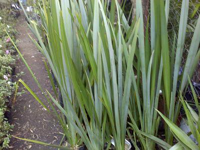 Venta de plantas para interior y exterior pasto for Plantas exterior