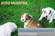 Finos cachorros de criadero Bulldog Inglés