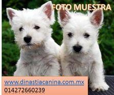 Finos cachorros de criadero West Highland White Terrier