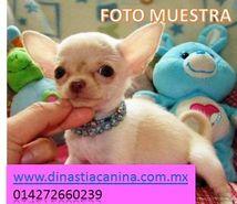 Genuinos cachorros de criadero Chihuahua