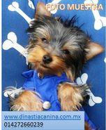 Genuinos ejemplares Yorkshire Terrier