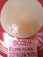 Hongo SCOBY Kombucha Búlgaros para Yogurt Kéfir y Tíbicos de Agua