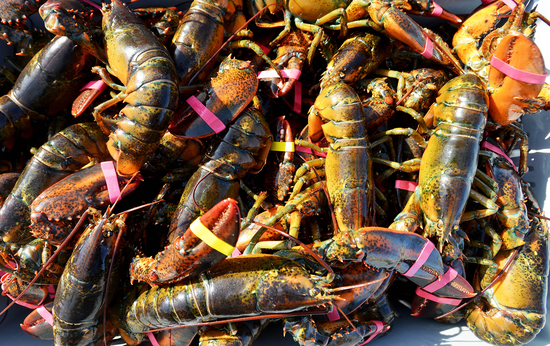 live lobsters fill a crate