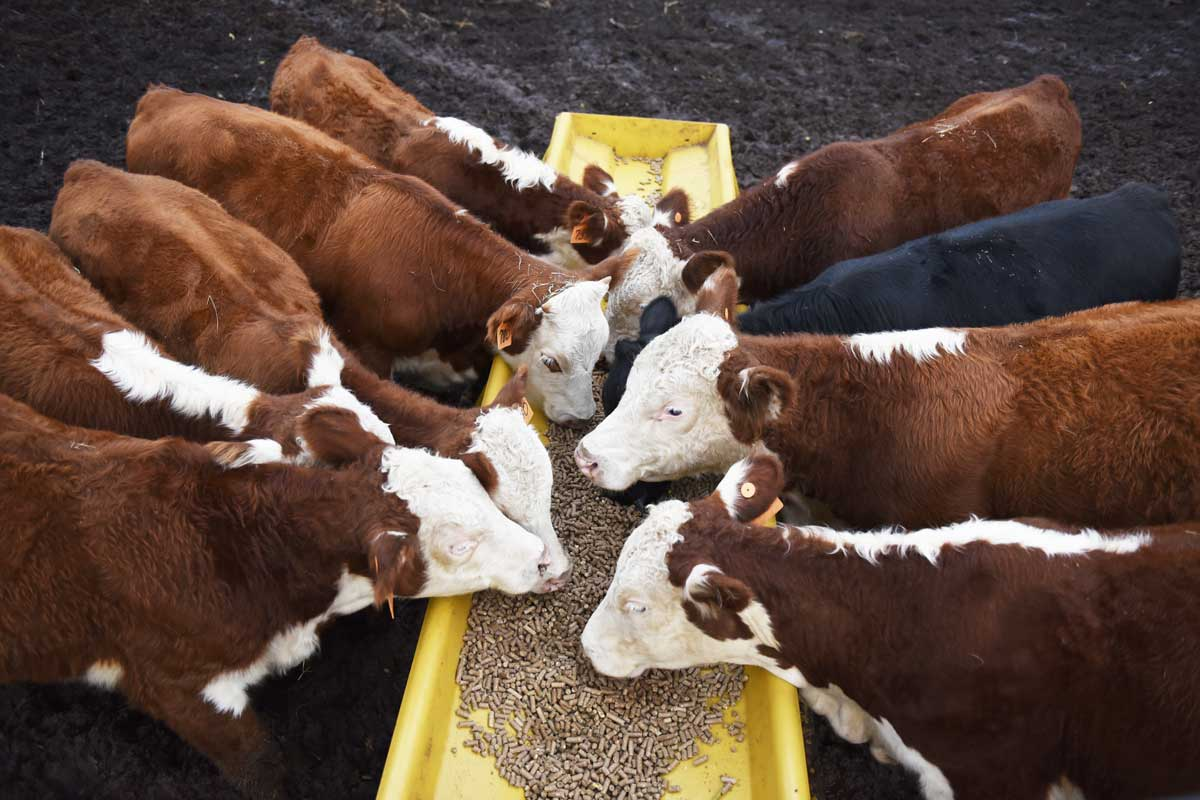 Part of John Boyers cattle herd feeds in Stillwater.