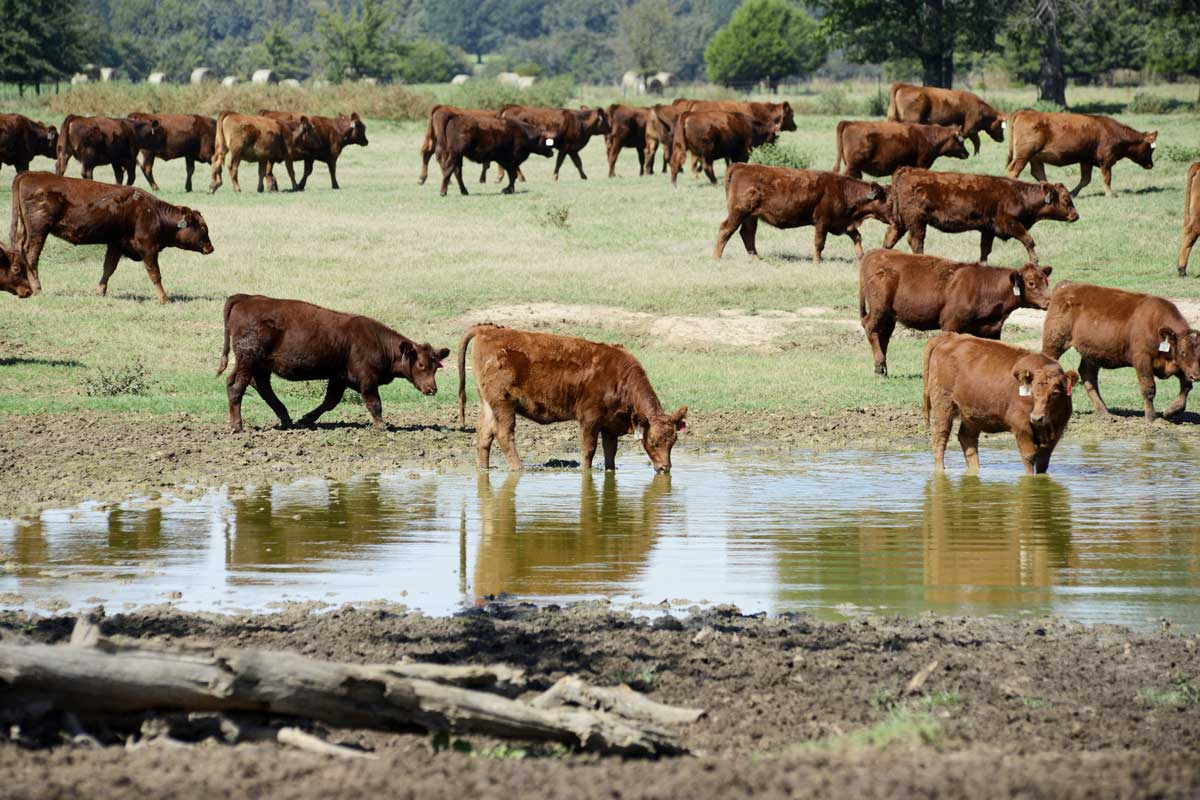 Red Angus cattle wade into a pond on Earl Shero's ranch in Wilburton.