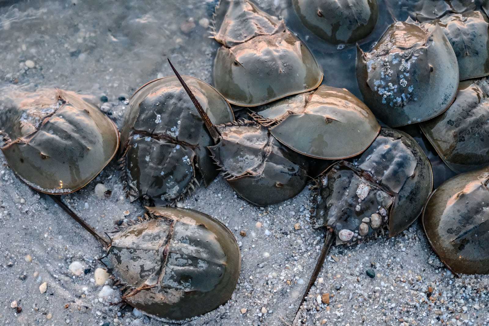 Horseshoe crabs populate Pickering Beach along the Delaware Bay during the 2019 spawning season. The Delaware Bay is home to the largest spawning horseshoe crab population in the world. (Alex Wroblewski)